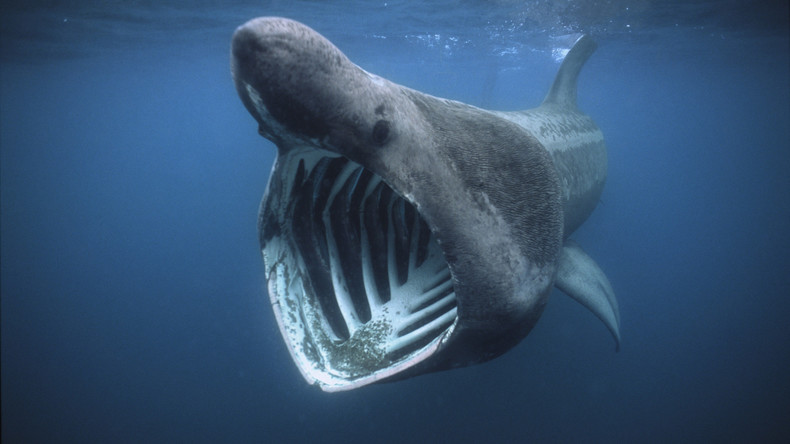 Fast 1.400 Riesenhaie vor Nordatlantikküste entdeckt