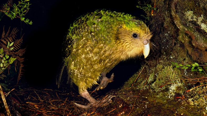 Neuseelands berühmtester Vogel verschwunden