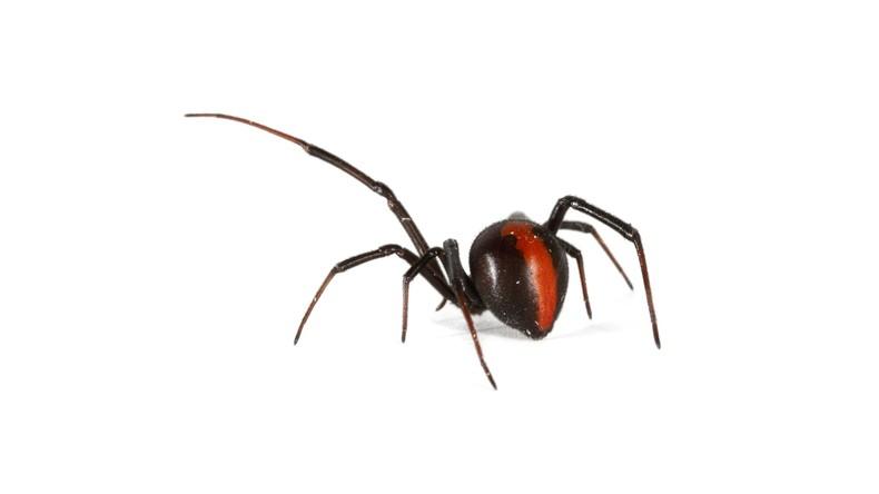 Spinnenschauer: Australierin zeigt Folgen eines heftigen Regens mit tödlichen Echten Witwen