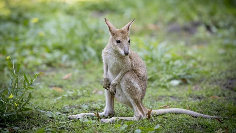 """""""Kaltblütig"""": Besucher in chinesischem Zoo tötet Känguru mit Steinen"""
