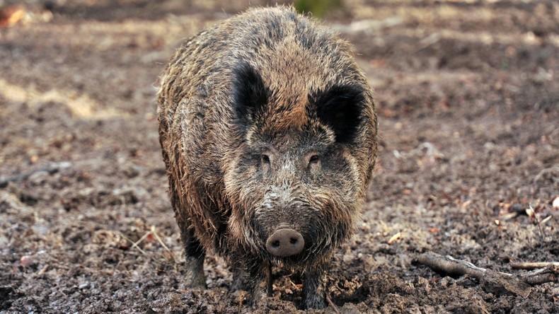 Afrikanische Schweinepest tritt erstmals in Ungarn auf