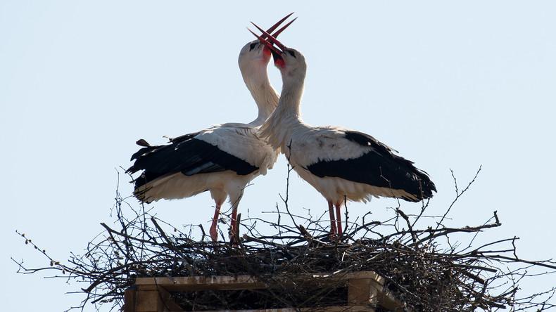 Liebe kennt keine Grenzen: Storch fliegt 16 Jahre lang immer wieder zu verletztem Weibchen zurück