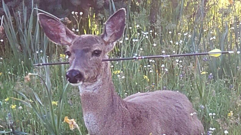 Hirsch lebt mit Pfeil im Kopf – US-Polizei setzt 2.000 Dollar für Informationen über Jagdfrevler aus