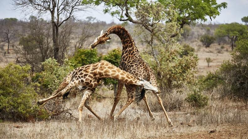 Giraffe tötet Filmregisseur Carlos Carvalho bei Dreharbeiten in Südafrika