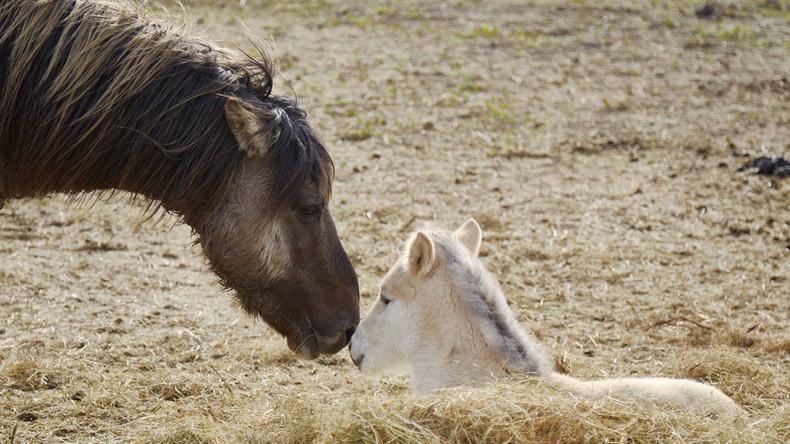 Tausende ausgehungerte Pferde im Naturschutzgebiet getötet - Aktivisten dürfen sie nicht füttern