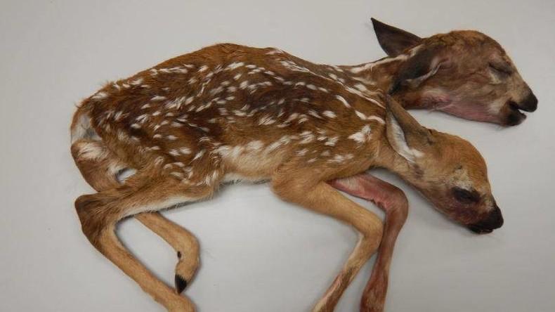 Eine Horrorgeschichte aus dem Walde: Pilzsucher findet Bambi mit zwei Köpfen