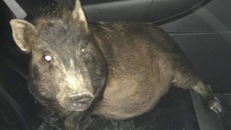 Lästige Begleitung: Mann ruft Polizei, weil Schwein ihn verfolgt - diese hält ihn für betrunken