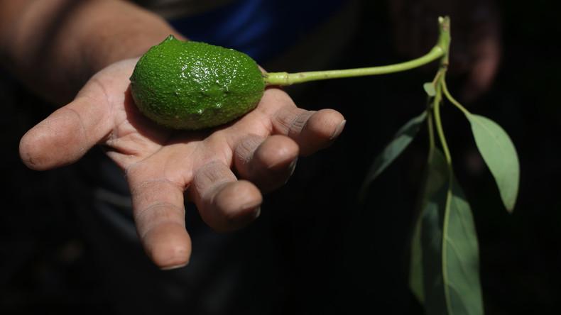 Der Satte versteht den Hungrigen nicht: EU-Appetit auf Avocados lässt chilenische Bauern verdursten