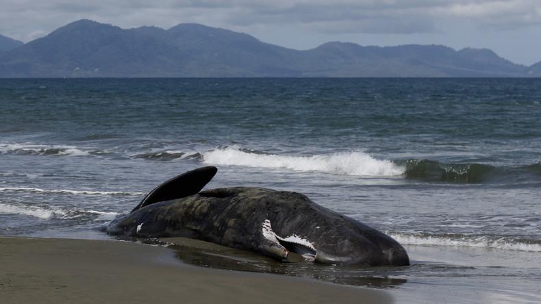 Acht Pottwale stranden in Neuseeland: Behörden möchten Massensterben der Meeressäuger untersuchen