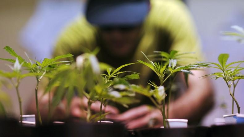 Mieter bauen Einfamilienhäuser zu Hanf-Plantagen um – Österreichs Polizei zerschlägt Drogenbande