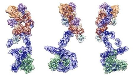 Mehrere Ansichten der Telomerase-Struktur, die RNA-Rückgrat in blau, assoziierte Proteine in orange und rot und das Herz des Enzyms, eine reverse Transkriptase, in grün zeigt.