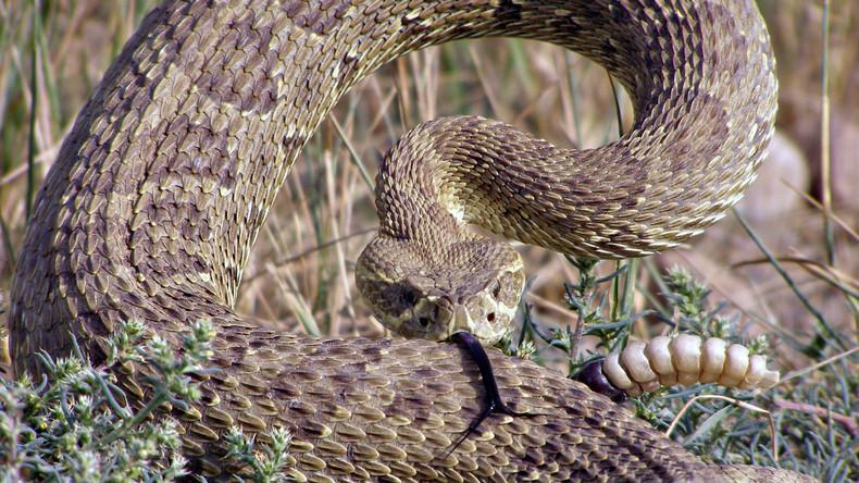 Rache aus dem Jenseits: Gärtner enthauptet Giftschlange und wird von ihrem Kopf gebissen