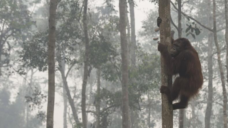 Ungleicher Kampf: Orang-Utan kämpft gegen Bagger, um seinen Wald vor Holzfällern zu retten