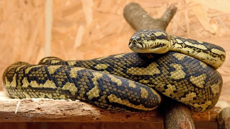 Python verschlingt Frau in Indonesien – Leiche aus Schlange herausgeschnitten [FOTO]
