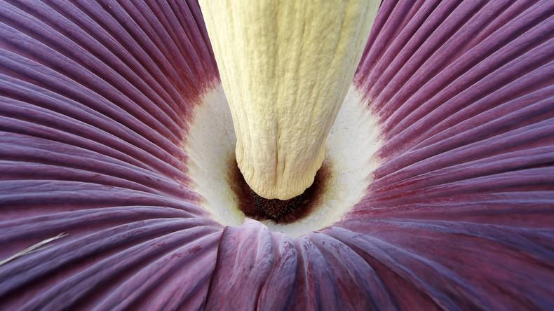 Stinkende Schönheit: Stuttgart wartet auf Titanwurz-Blüte