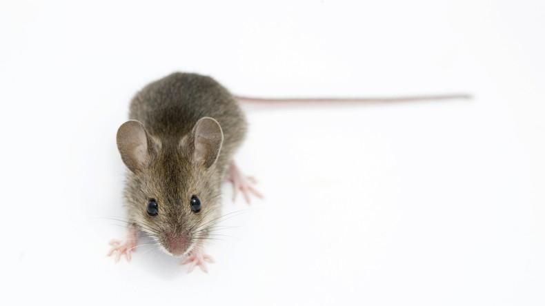 Teures Abendessen: Mäuse fressen Geldscheine im Wert von fast 16.000 Euro in Indien auf