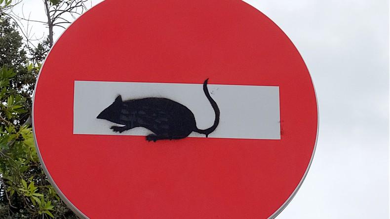 """""""Sie sind so groß wie Katzen!"""" Schwedische Stadt von Ratten-Seuche befallen"""