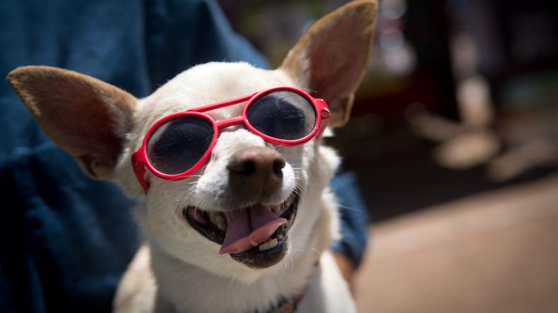 Außer Kontrolle geraten: Paar hält 82 Chihuahuas in Privathaus