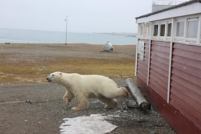 Eisbär verwüstet Lebensmittellager und bleibt im Fenster stecken