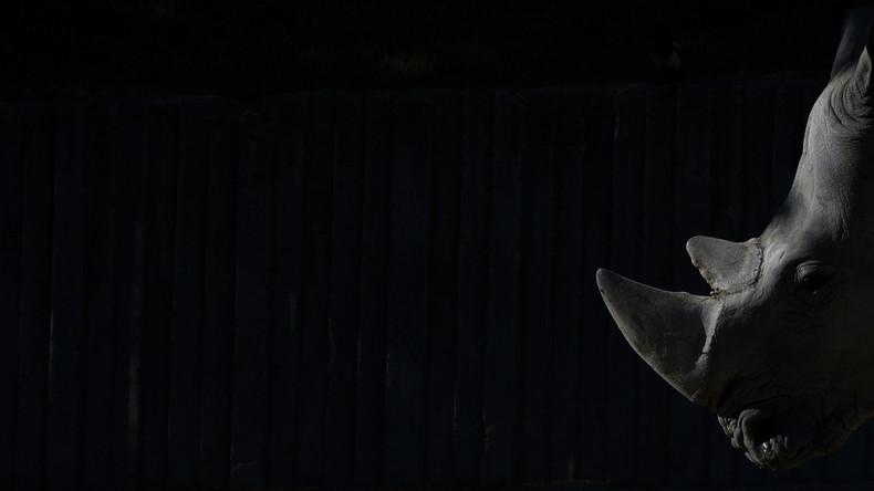 Erstmals Nashorn-Embryos im Labor erzeugt - Unterart doch zu retten?