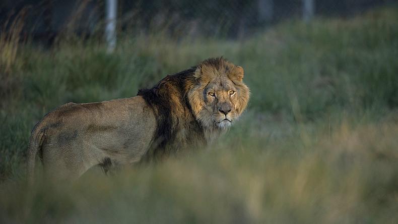 Wenn Natur zurückschlägt: Löwen in Südafrika fressen mutmaßliche Nashorn-Wilderer