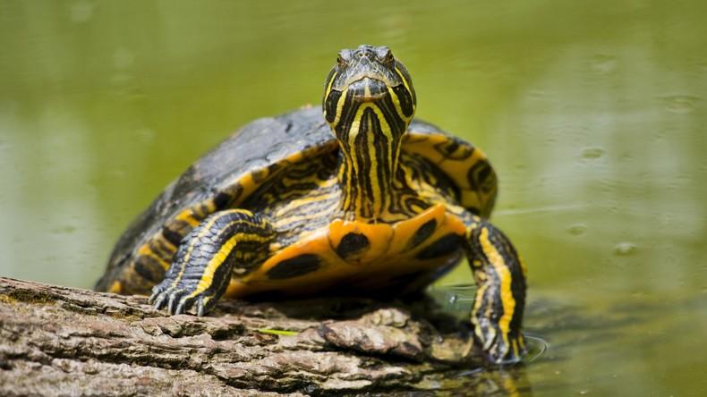 Ausgebüxte Schildkröte kehrt nach drei Jahren zu Besitzer zurück