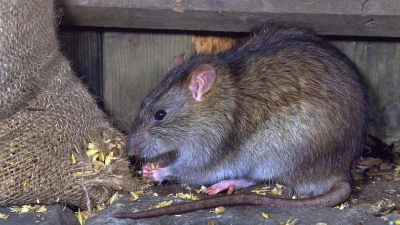 """Spaßverderberin: Ratte treibt """"Dornröschen""""-Besucher unsanft aus dem Ballett"""