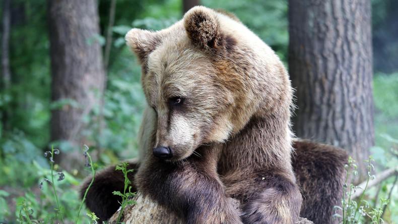 Gastfreundschaft mit Folgen: Stadt verzichtet auf Feuerwerk zu Bundesfeiertag – Bär ist schuld