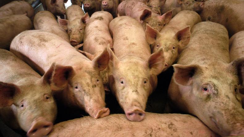 Tierschützer rettet Schwein vom Bauernhof und wird bestraft