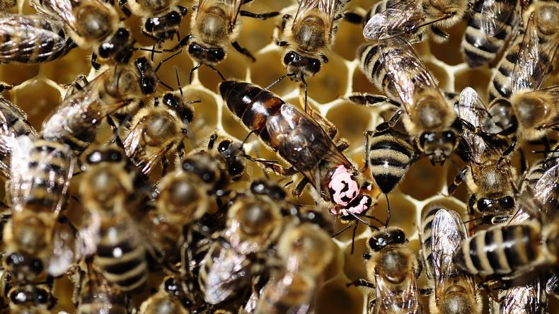 Horrorattacke: Riesiger Bienenschwarm sticht Putzfrau über 200 Mal