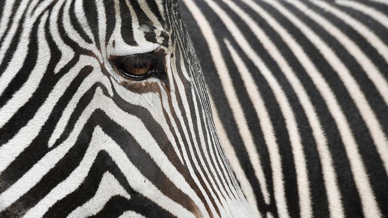 Nah dran: Mitarbeiter von Kairo Zoo malen Esel an und geben sie für Zebras aus