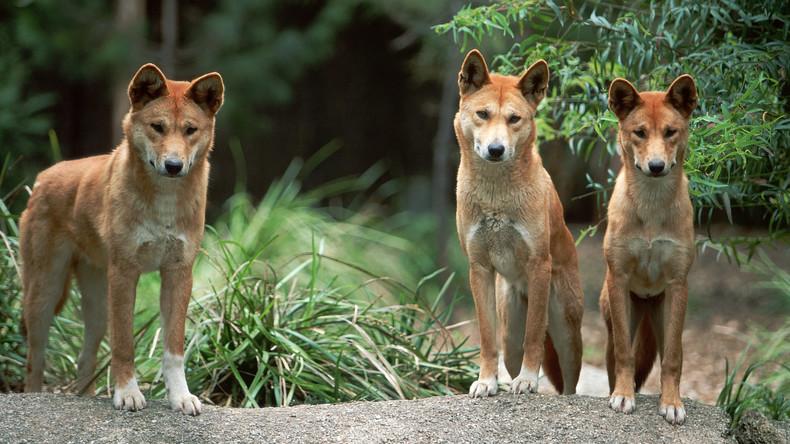 Jagd auf Menschen: Drei Dingos locken Australierin in Falle und greifen sie an