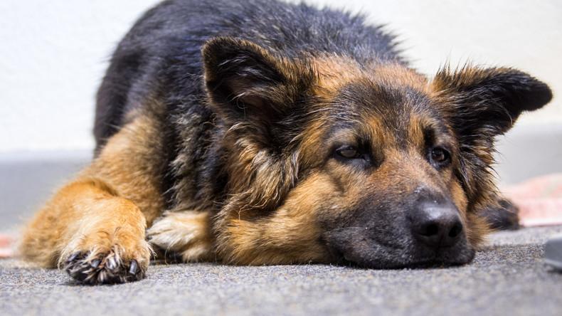 Italien: Unbekannte vergiften Rettungshund, der zahlreiche Menschen nach Erdbeben fand