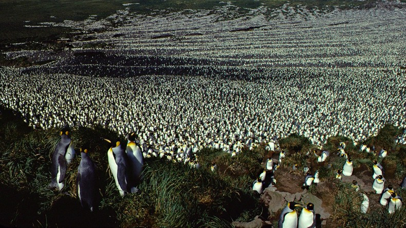 Einst größte Kolonie von Königspinguinen in 35 Jahren um mehr als das Achtfache geschrumpft