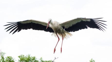 Storch verliert GPS-Tracker mit SIM-Karte - Umweltorganisation muss fette Telefonrechnung zahlen (Symbolbild)