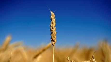 In Deutschland wird Getreide auf 6,25 Millionen Hektar angebaut.