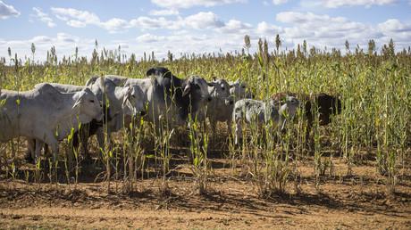Kühe vor einem landwirtschaftlichen Betrieb in der Nähe von Bothaville/Südafrika.