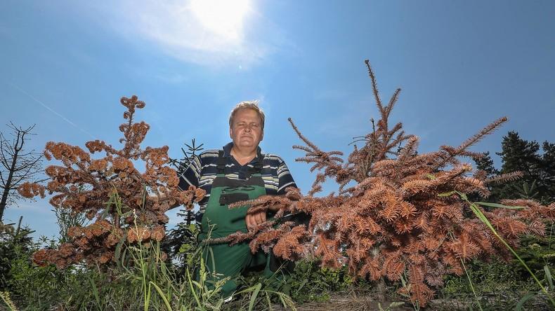 Schöne Bescherung: Dürre setzt Weihnachtsbäumen zu