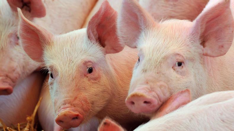 Im Labor gezüchtete Lungen erfolgreich in Schweine transplantiert