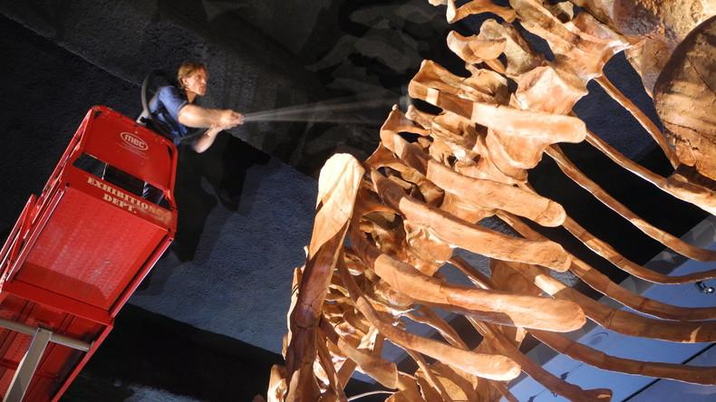 Dino-Waschtag: Skelett des größten bekannten Sauriers erstmals gereinigt