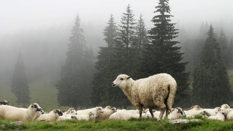 Nordirland: Schaf stürzt auf Teenager und knockt ihn aus