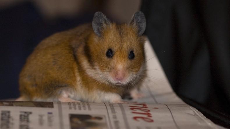 Teures Geschenk: Hamster bricht aus Karton aus und verwüstet neues Auto