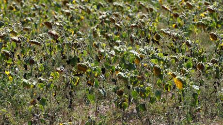 Zu trocken: Sonnenblumen auf einem Feld in Brandenburg, Juli 2018