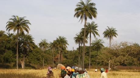 Während deutsche Politiker von Partnerschaften sprechen, werden afrikanische Märkte von subventionierten Billigprodukten überschwemmt. Bild: Reis-Bäuerinnen in Afrika