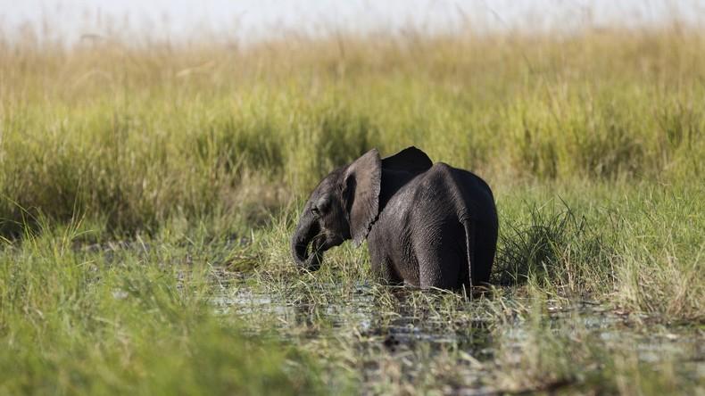 Jagdsaison offen: Rekordverdächtige 87 Elefanten in Botswana von Wilderern erlegt