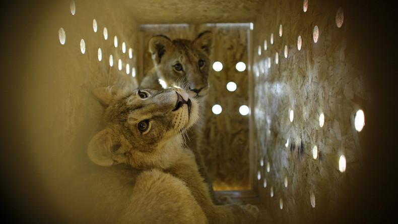 Südafrika: Weltweit erste Retortenlöwen machen Tierschützern Hoffnung auf Rettung von Großkatzen