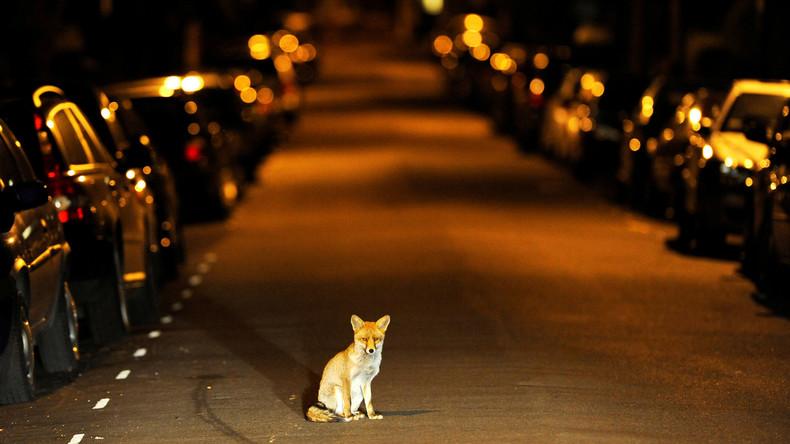 Britische Polizei findet Katzen-Killer von Croydon: Füchse sollen Übeltäter sein