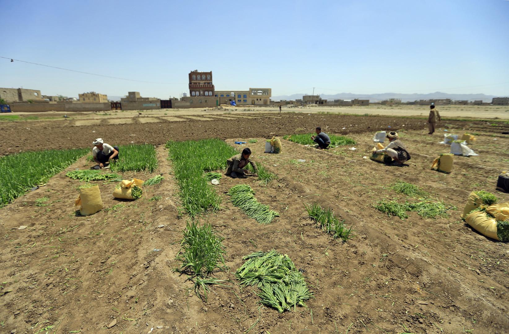 Jemenitische Bauern, darunter ein Kind, arbeiten am 19. September 2018 in einem Gemüsefeld am Rande von Sanaa. Mehr als fünf Millionen Kinder drohen im vom Krieg zerrütteten Jemen zu verhungern.