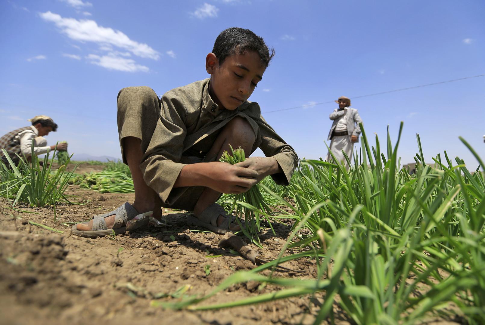 """Jemenitische Bauern, darunter ein Kind, arbeiten am 19. September 2018 in einem Gemüsefeld am Rande von Sanaa. Save the Children warnt davor, dass eine ganze Generation mit Tod und """"Hungersnot in einem nie dagewesenen Ausmaß"""" konfrontiert sein könnte."""