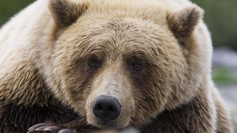 Die Rache der Natur? Jäger erschießt Bären, Bär fällt auf Jäger und erdrückt ihn fast